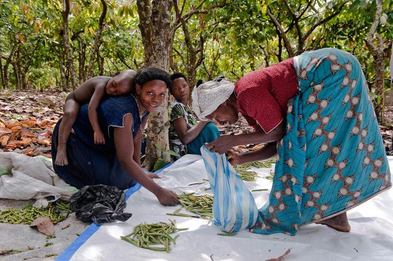 Ndali vanilla farmers grading their precious vanilla beans