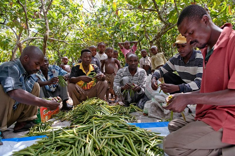 Sorting Rwenzori's vanilla harvest in the field