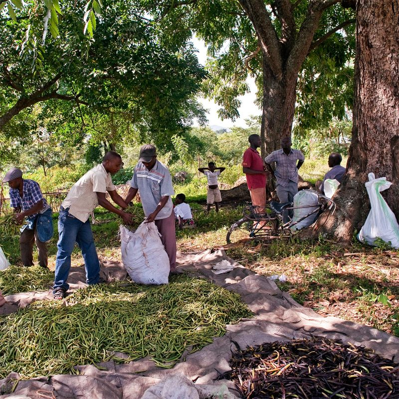 Sorting and packing Rwenzori's vanilla harvest